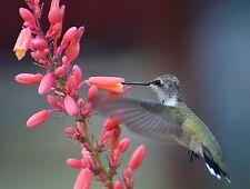 10 Hummingbird Plant Seeds, Red Flowered Yucca, Hesperaloe Parviflora