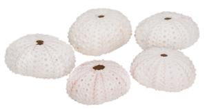 NaDeco® Seeigel Gehäuse weiß 5 Stück ca 4cmDekoseeigelSeeigelgehäuseEc