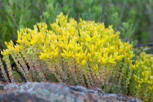 Sedum forsterianum 'Silver Stone' 100 Seeds,blue-green needle leaves,gold flower