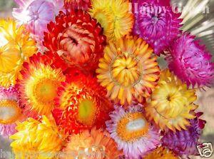 STRAWFLOWER-MIX-1400-SEEDS-Helichrysum-bracteatum-TALL-EVERLASTING-FLOWER