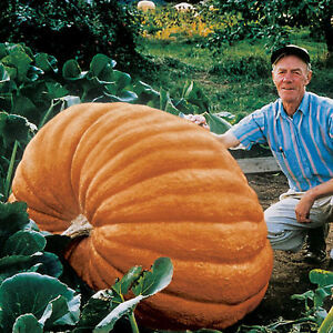 Sensible Pumpkin Seeds Atlantic Giant Ukraine Heirloom Semences Potagères-afficher Le Titre D'origine