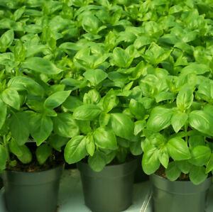 Seeds-Basil-Lemon-Green-Vegetable-Organic-Heirloom-Russian-Ukraine