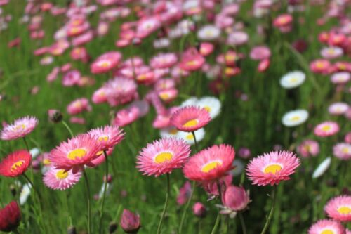 Paper Daisy Flower Seeds Mix 1000 Graines /'Helipterum Roseum/' Acroclinium