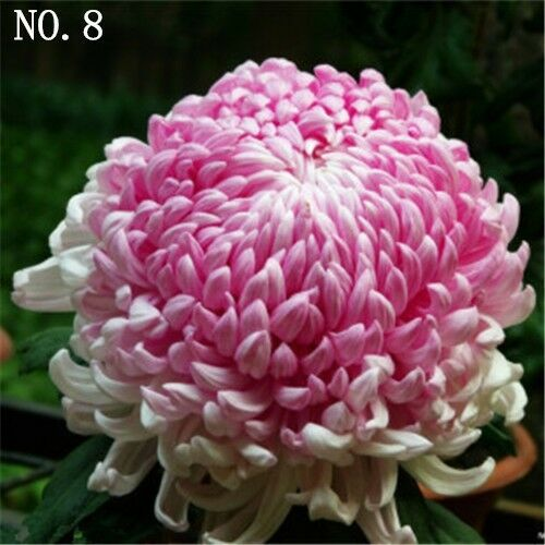 Colorful Chrysanthemum seed  courtyard plant balcony decoration 30 seeds NO.8