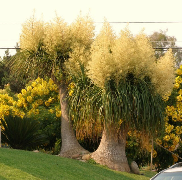 Beaucarnea Recurvata Rare Elephant Foot Ponytail Palm Caudex Bonsai 20 Seeds For Sale Online Ebay