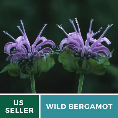 Bergamont Bee Balm Seeds 100 Fresh Picked 2019