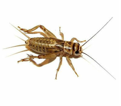 """500 Live BROWN  Crickets 1/4"""" to Adults """"free heat packs and double boxed"""""""