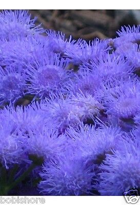 FREE POST AUSTRALIA Ageratum Mexicana Seeds Exotic Blue Garden Plant Seed