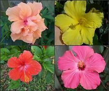 "8 HIBISCUS WELL ROOTED LIVE STARTER PLANTS 4 TO 5"" TALL"" 2 OF EACH COLORS"""