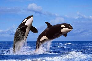 Ansichtskarte-springende-Schwertwale-breaching-Orcas