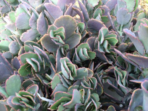 Kalanchoe Fedtschenkoi Lavendar Scallops Rare Cute Live Succulent Cactus Plant