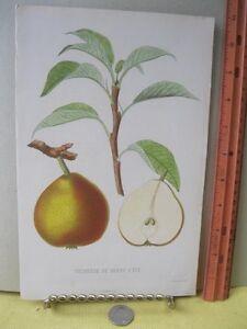 Vintage-Print-DUCHESSE-DE-BERRY-French-Fruit-Tree