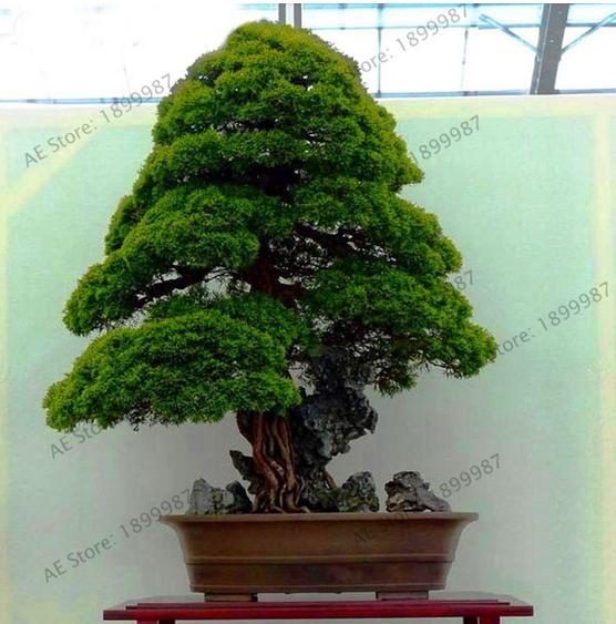 100pcs Sacred Japanese Cedar Tree Seeds Bonsai Plant Fir Plant Home Gardens For Sale Online Ebay