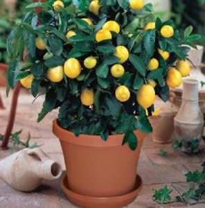 10pcs Lemon Tree Fruit Tree Seeds UK Seller