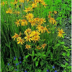 Details about Leopard's Bane - Arnica Montana - 50 Seeds