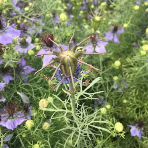 Schwarzkümmel Nigella sativa Kalonji orientalisches Gewürz Heilpflanze