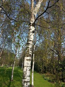 10-Silver-Birch-Native-Trees-3-4ft-Hedges-Betula-Pendula-2-Yr-Old-amp-Feathered