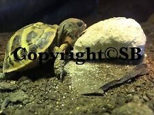 OFFER! 1kg Natural Quarry Lump Chalk Calcium For Tortoises FREE P&P & SEEDS