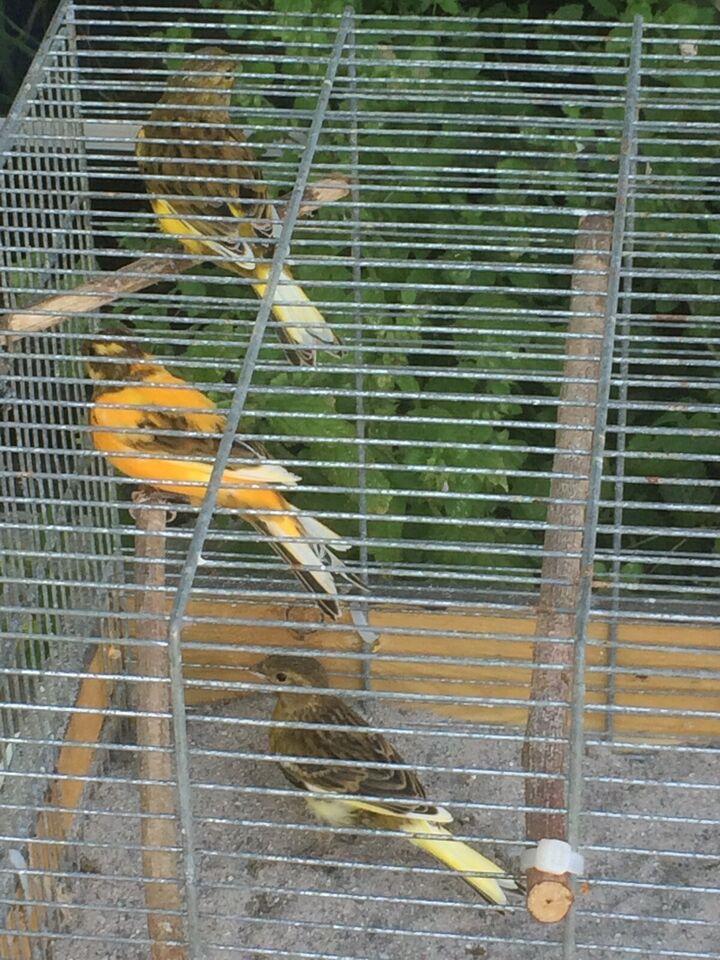 Kanariefugl, 0 år