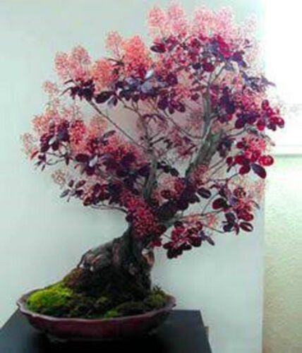 BONSAI SMOKE TREE SEEDS COTINUS COGGYRIA SEED INDOOR FLOWER POT PATIO 40 SEEDS