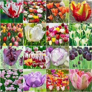 SPRING-FLOWERING-BULBS-039-TULIPS-039-HARDY-SPRING-GARDEN-PERENNIAL-BULBS