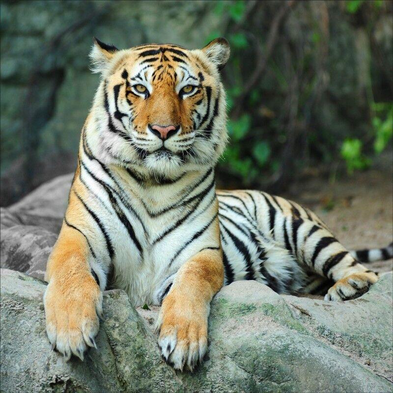 Wandaufkleber Deko   Tiger 1233