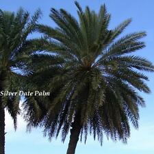 ~Silver Date~ Phoenix sylvestris Palm BR 5+ Seedlings Cold Hardy Landscape Tree