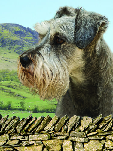 3D Picture Dogs Schnauzer Head /& Shoulders portrait Size 39 x 29 cm approx New