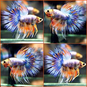 Live Betta Fish Fancy BLUE PURPLE FIREWORK Crowntail CT Male #177