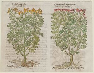 JOHN-GERARD-BOTANICA-MATTHIOLI-1597-RUTA-HORTENSIS-ERBE-HERBS