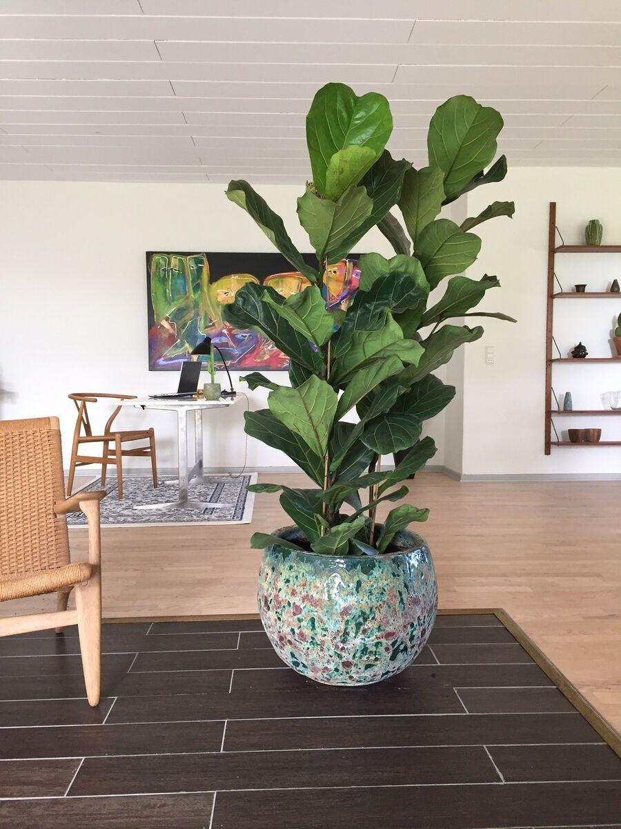 stor stueplante
