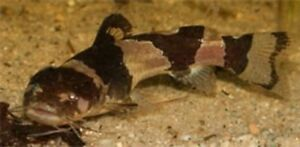 3-Bumblebee-Catfish-Live-Freshwater-Aquarium-Fish