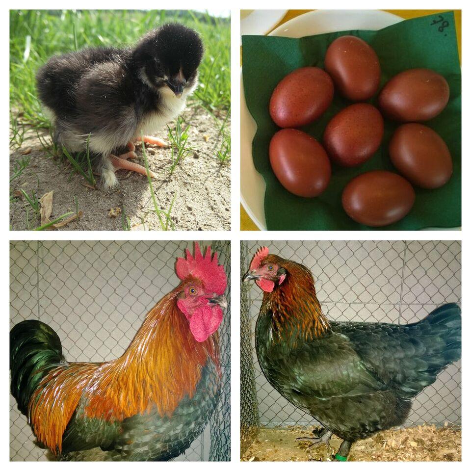 Kyllinger, 1 stk.