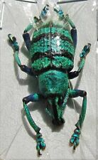 Lot of 2 Blue Banded Snout Beetle Eupholus schoenherri petiti FAST SHIP FROM USA