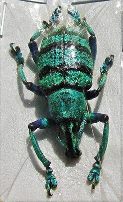 Lot of 10 Blue Banded Snout Beetle Eupholus schoenherri petiti FAST SHIP FROM US