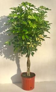 umbrella tree gold capella live braided schefflera arboricola florist quality ebay. Black Bedroom Furniture Sets. Home Design Ideas