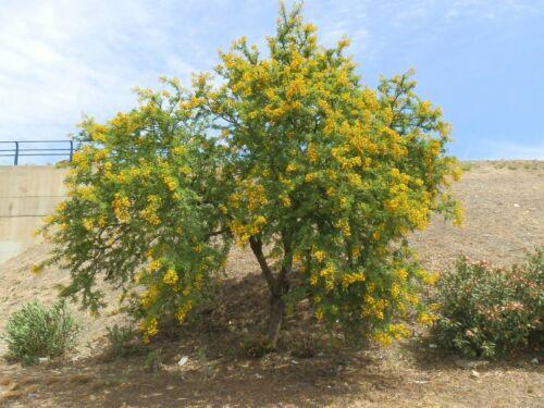 Umbrella Thorn Acacia   Acacia tortilis   10 Seeds Free US Shipping