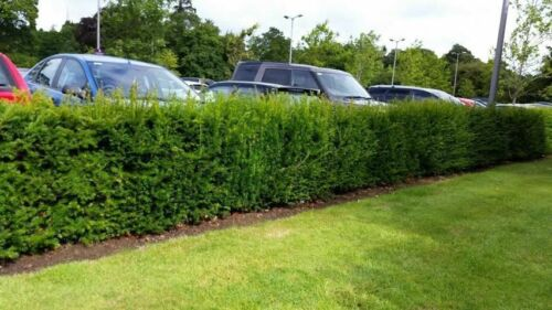4 English Yew 1-2ft Hedging Plants,4yr old Evergreen Hedge,Taxus Baccata Trees