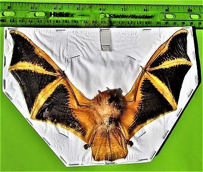 "Lot of 5 Asian Painted Bat Kerivoula picta 7-8"" Wingspan FAST SHIP FROM USA"