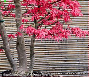 acer palmatum japanischer ahorn 10 samen bonsai. Black Bedroom Furniture Sets. Home Design Ideas