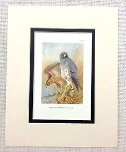 Antico-Stampa-Montagu-039-s-Harrier-Uccelli-Di-Preda-Vintage-Wildlife-Art-1929