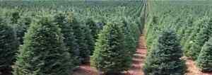 500-x-Noble-Fir-Christmas-tree-seeds