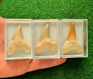 Real Shark Tooth Fossil [Otodus Obliquus] 70Million Years Old Sale [Free Box] #M