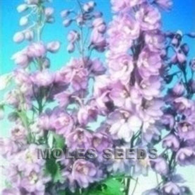 DELPHINIUM PACIFIC GIANTS LAVENDER PINK 25 S AP  Perennials, Seeds 150p FP