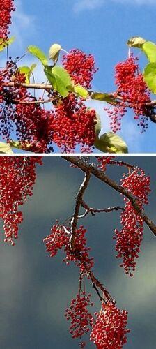 Die Orangen-kirsche Samen Obstbäume Obstgehölze für den Garten das Geschenk Duft