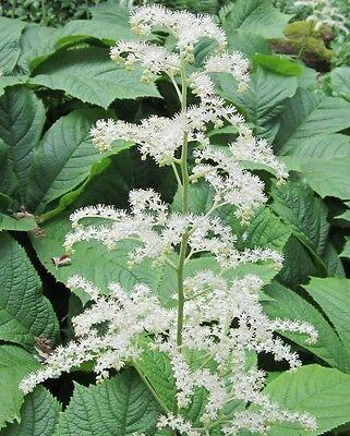 Rodgersia henrici 30 Samen Schaublatt Kastanienblatt rote und rosa Blüte
