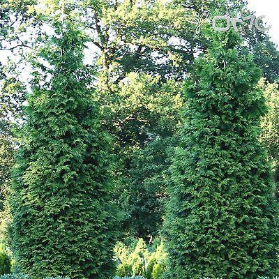 WESTERN RED CEDAR (Thuja Plicata) 50+EXTRA seeds (#475)