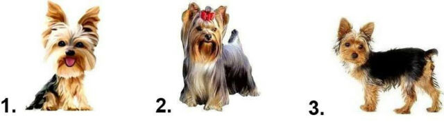 Waterslide Dog Nail Decals Set of 20 - Yorkie Yorkshire Terrier - you choose