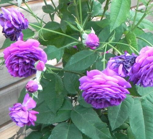 20x Climbing Purple Rose rosebush seeds 20 graines de Rosier Grimpant Violet