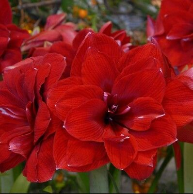 Double Dragon Amaryllis Bulb Blooming Easy to Grow Bonsai Home Balcony Decor